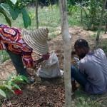 Récolte de curcuma